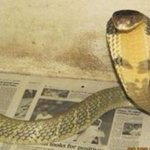 A king cobra has escaped from an Orlando home! Officers are searching now: http://t.co/sTJiqE1udS http://t.co/SCIfmniiKD