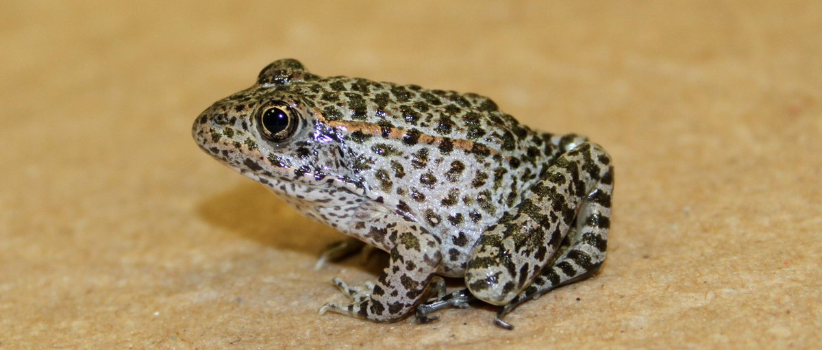 #Wildlife managers reintroduce #duskygopher #frogs to a habitat in MS #NWR. http://t.co/z4XbUs5SWh #endangeredspecies http://t.co/ubYnoPcn3V