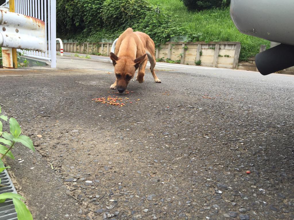 となたかこの犬に心当たりありませんか?川崎市上麻生岡上付近にいます。怯えてて捕まりませんがお腹はすいてるみたい。飼い主さーん。 http://t.co/9mWIlEmwLr