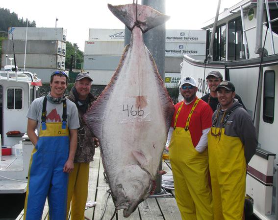 "This monster 466-pound Alaska halibut was ""team fought"" http://t.co/yn1Tg1mYbX http://t.co/mdFZegHpO1"
