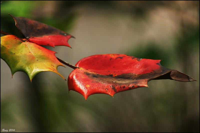 growing/ weary of sunlight/ the leaf/ burnished red/ she twists and turns #tanka #micropoetry  pic boazr http://t.co/UaCVdWsdfU @dsjinspring