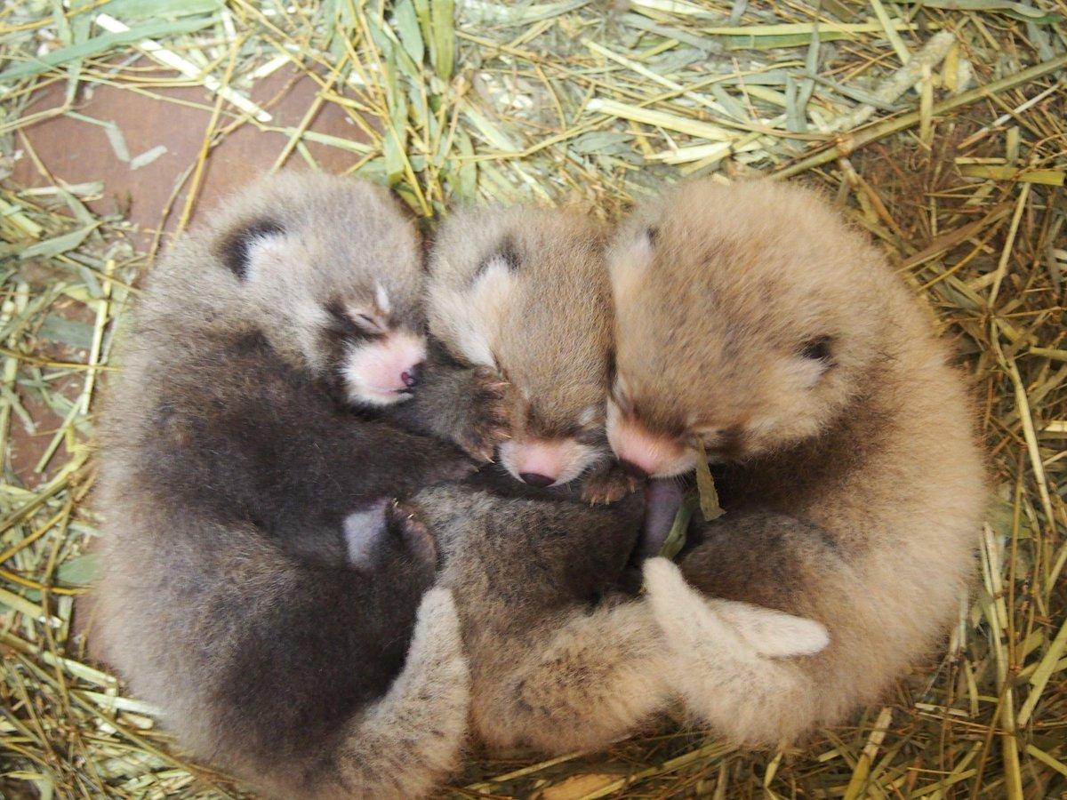 那須どうぶつ王国、レッサーハウス、9月18日(金)オープンの目玉は何と言っても、6月29日生まれの3兄弟赤ちゃん、成長が早いレッサーパンダ。今が間違いなく一番かわいい時期です。「あっ!と驚く近さ」でガラス仕切りのない空間で(^^♪ http://t.co/LDGlSUet14