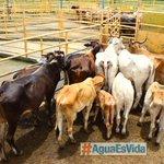 #ProvinciasPA Los ganaderos de Panamá Oeste luchan por sobrevivir http://t.co/3Nw7jeQlV9 http://t.co/DK6eaVhctV