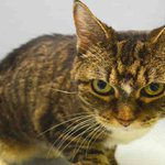 CHELSEA might be KILLED TOMORROW! Please RT-share-pledge-foster-adopt! #NYC #CATS https://t.co/dT33GUWX7M http://t.co/CGXe1tSYBa