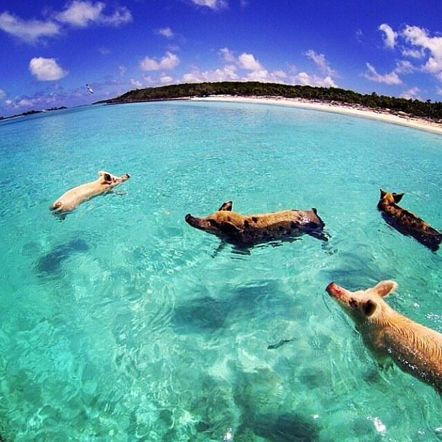 Meet the swimming pigs of Exuma in the Bahamas!  Photo by MatadorN reader @myidentitydis…