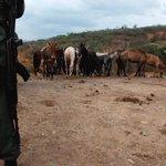 Retenida caravana de caballos, burros y mulas que eran llevadas de contrabando a Colombia http://t.co/DLSdBwSGgt http://t.co/PYDu8FLKP7