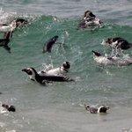 Bando de pinguins é visto pegando onda em praia sul-africana http://t.co/YowSp3Y4Gi #G1 http://t.co/NOH95B7QdX
