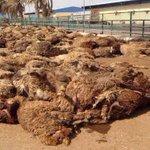 الإرادة / بالصور: نفوق 1200 رأس من الأغنام بعد غرقها في بحر ميناء الدوحة #الكويت http://t.co/xLp0Glb0mD
