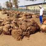 #الكويت : نفوق قرابة 1300 رأس غنم من شدة الحر والعطش بسبب تأخير إجراءات دخولها في ميناء الدوحة . http://t.co/9k8CJaG6nr