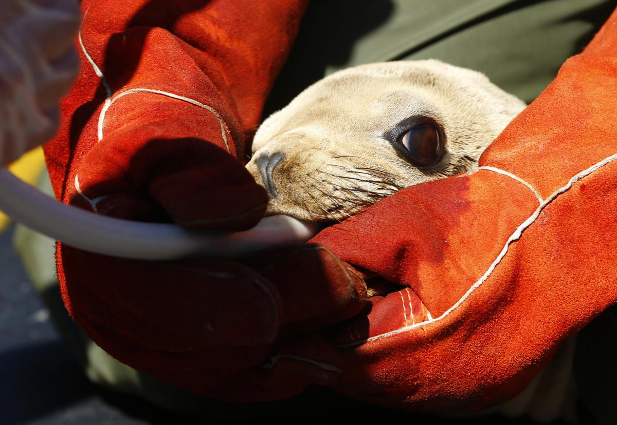 RT @grist: Why are baby sea lions starving and dying? http://t.co/h1CcvFIm0K http://t.co/nyiAdwjyr1