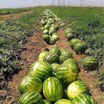 Melons of northern #Afghanistan and Watermelons of southern #Helmand Photos from FB http://t.co/jq2qywPa8T