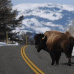 Bison numbers surge at Yellowstone; park has culled 500 in attempt to control herd http://t.co/KrBySmbYFe http://t.co/4ld5FkCl2A
