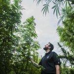 CSU is researching marijuanas misunderstood cousin, hemp http://t.co/nrkgKd2zxW http://t.co/QxO7GzvqqK