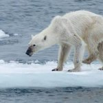 [Lo + Visto] Osa polar desnutrida genera impacto por consecuencias de cambio climático http://t.co/sABWnzbxNI http://t.co/rhSH6qAlKH