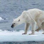 Impactante foto de osa polar desnutrida en el Ártico causa indignación → http://t.co/S7fdR9rP8l http://t.co/ZIS2JsEqBI
