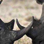 Le nombre de rhinocéros tués en Afrique du Sud encore en hausse http://t.co/VgathNusjf http://t.co/aubIo2k5br