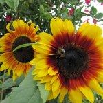 Great range of #sunflowers @RHSHarlowCarr Great for #bees @The_RHS #Harrogate @VisitHarrogate @moreHarrogate http://t.co/rqOGguetmV