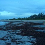 Piles of seaweed were dumped @ Jupiter Bch Park by Erika. Called sargassum, the stuff can stink and draw bugs & birds http://t.co/YQ4jQ4vYT1
