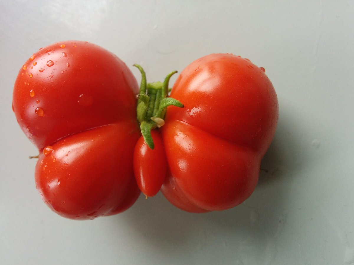 We interrupt your afternoon to show you this tomato shaped like a butterfly. http://t.co/DxWucyzGwS