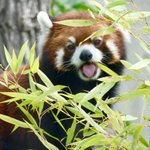 . @assiniboinezoo taking extra measures to make sure its red pandas arent sick. #cbcmb http://t.co/0459Jah4Ws