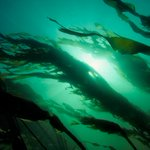 The Monterey Bay National Marine Sanctuary has our nations largest kelp forests: http://t.co/J7ZvNWxT36 #BigBlueLive http://t.co/NrD2M4QCB0