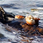Unlike the sea otters found in Alaska, sea otters in California dont eat fish. #BigBlueLive http://t.co/Vtv4mRG9n2 http://t.co/RKJvGv38j3