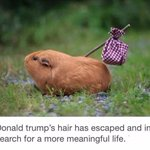 Breaking News: Donald Trumps hair has run away from home... http://t.co/4rvsSzN6FS