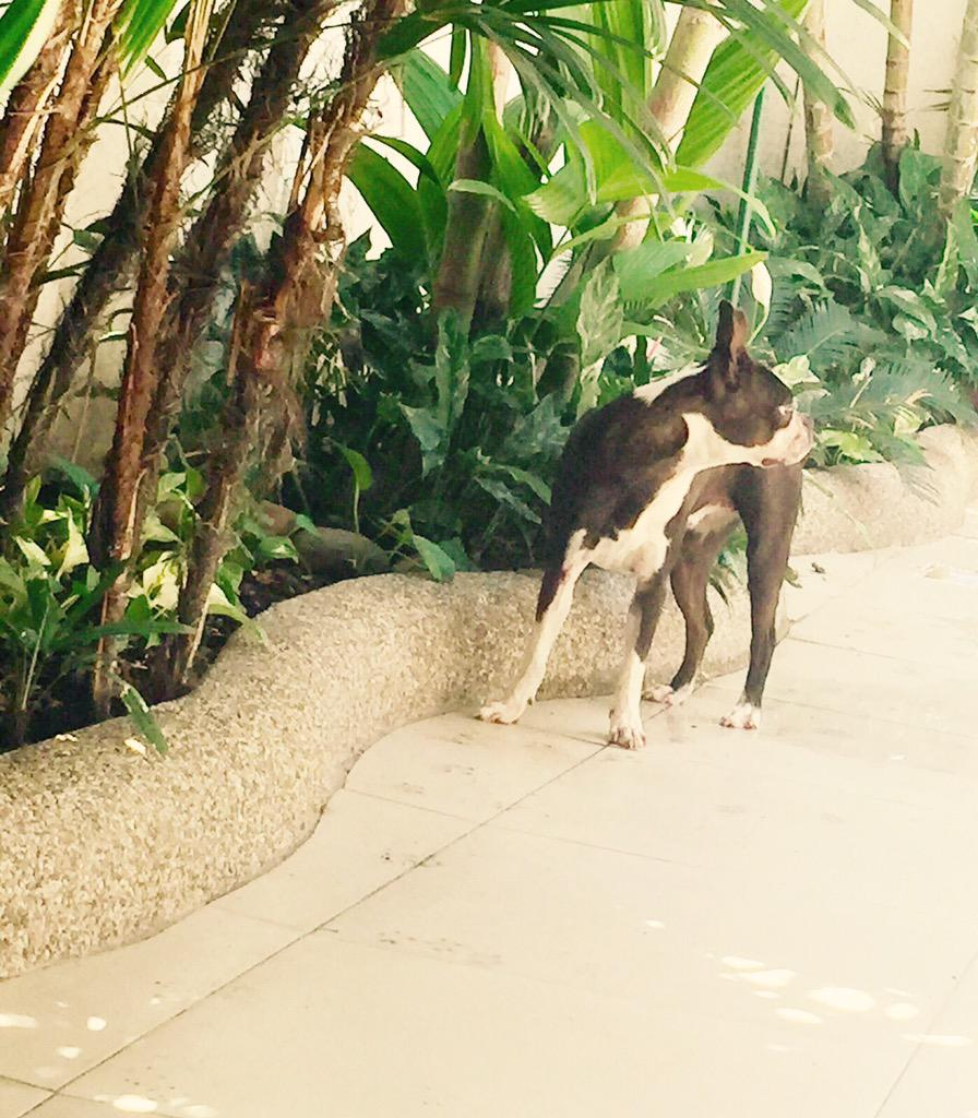 Boston terrier hembra encontrada hoy en las afueras de Plaza Lagos. X favor compartan. Cel 0999770488 http://t.co/9BOsaFaqBE