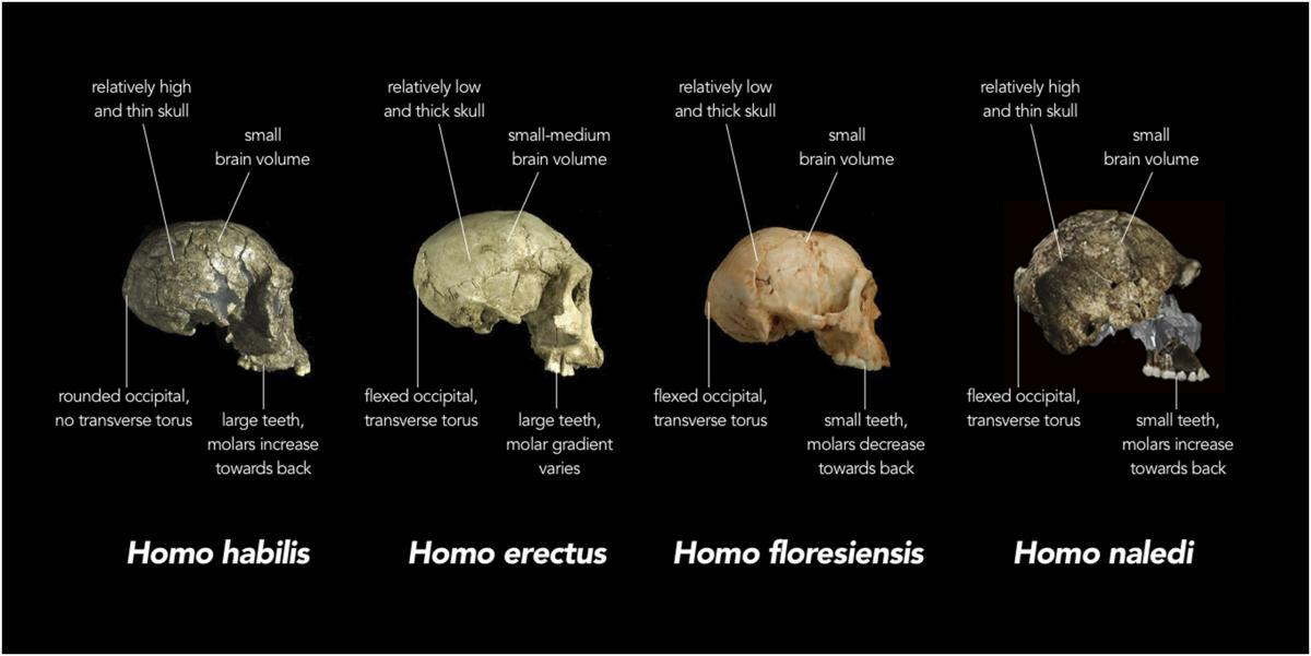 Homo naledi—Another Awesome Twig on the Human Family Tree, Part 1 http://t.co/AIyE9oG3FM\\ http://t.co/HMZBxvwZQV