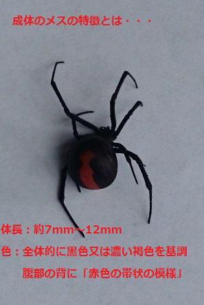 セアカゴケグモが香南市吉川町で発見されました!! 見つけた場合は速やかにご連絡ださい。 絶対に素手で捕まえず、殺虫剤または靴で踏みつぶして駆除してください。 連絡先:県庁環境共生課 088-824-4868 http://t.co/BchO9Zulau