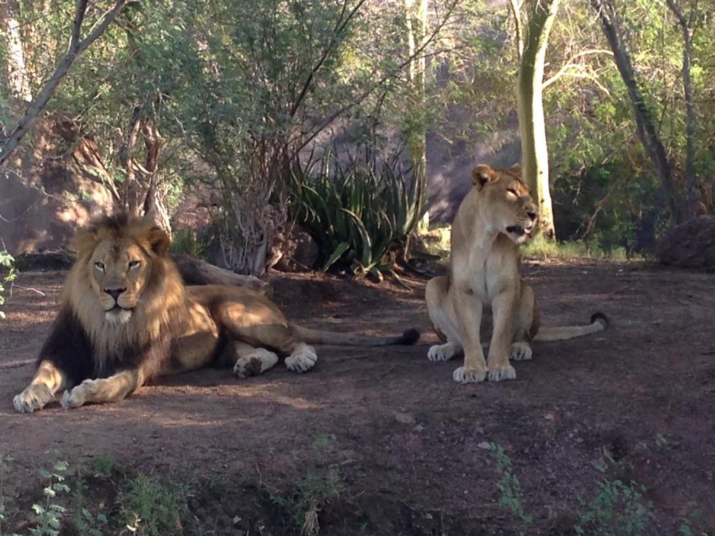 Lions are looking good and ready for visitors!! At the Phoenix Zoo! @PhoenixZoo http://t.co/JFyGRtAN3S