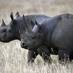 The West African Black Rhino has been officially declared extinct.Hunted for its horn! Shame on our Species! http://t.co/FKu14WmhoX