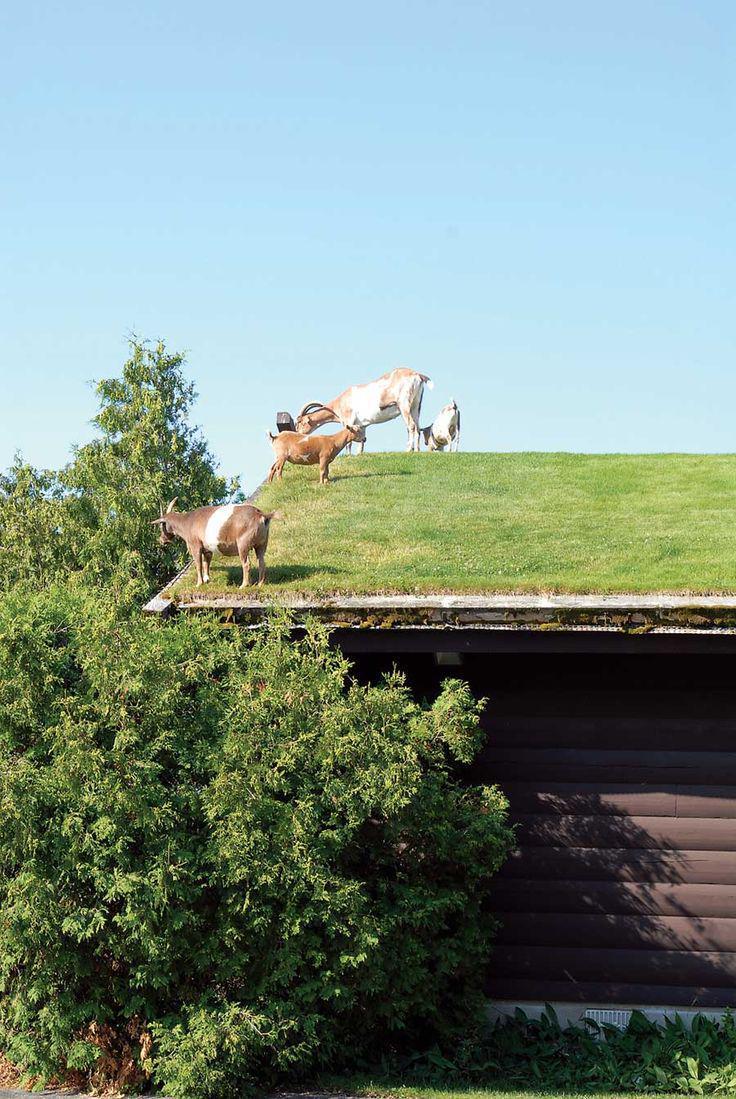 Vooruit met de geit, tijd voor meer #duurzaamheid op daken.... @VitaleGroenStad @DuurzaamActueel @gaafgroen #duurzaam http://t.co/K7wmmqifXq