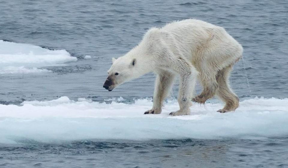 Para reflexionar: Oso polar famélico se convierte en ícono del cambio climático http://t.co/vvFIl5Glry http://t.co/XZRHvDayAj