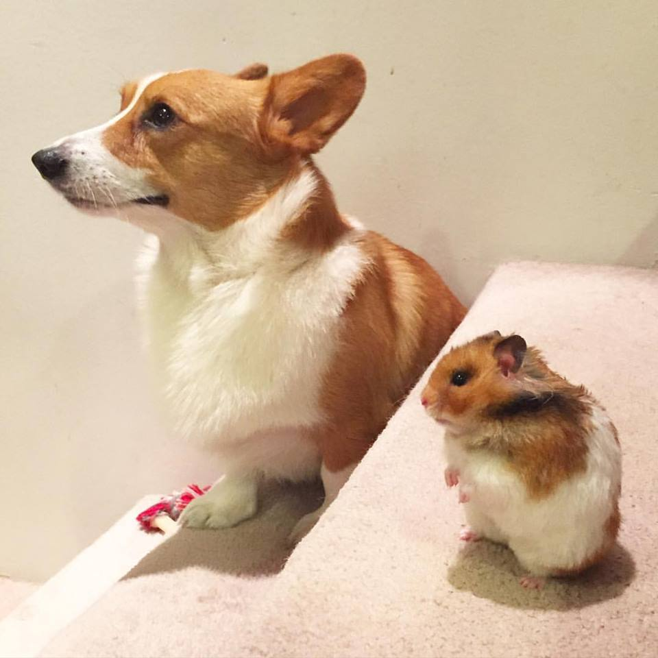 Loki the #Corgi: Winning at twinning. http://t.co/SGCOzy619u http://t.co/ieQZjJxU5u