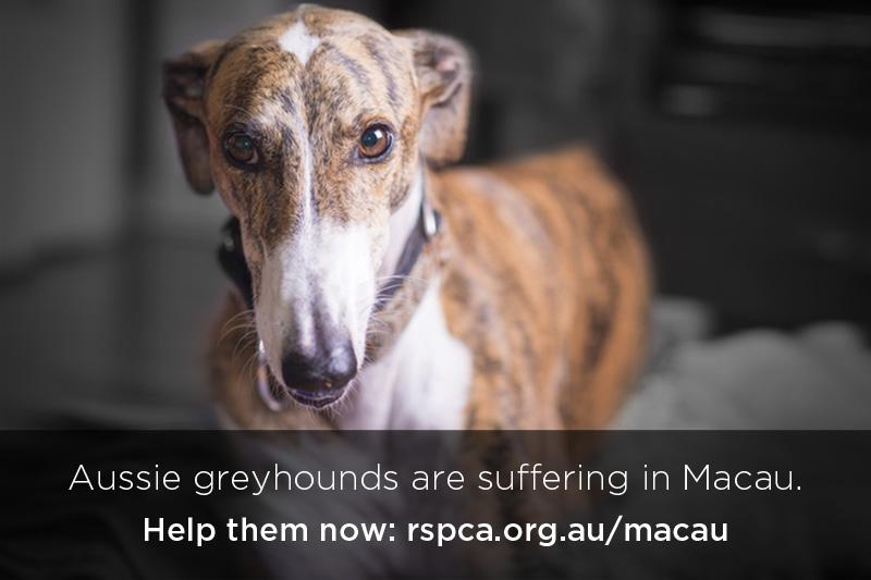 TAKE ACTION to #ClosetheCanidrome in Macau & help protect Aussie greyhounds. Add your name: http://t.co/2fBcwM610U http://t.co/rJwaJrKqEh