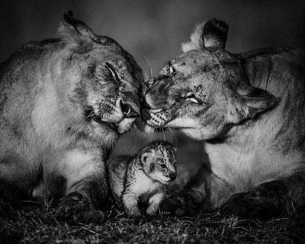 """""""@Voyager_M: @natmoss: 10 B&W #Africa #Wildlife #Photography by @laurentbaheux: http://t.co/GdRA6L9jJA"""" http://t.co/6AeNKcy5Tr"""