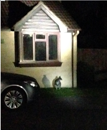 Have you lost a wallaby? 'Skippy' seen around the Woodmancote near Dursley. Owners pse call 101 quote 462 of 26 Sept. http://t.co/aq9LpFiQJG