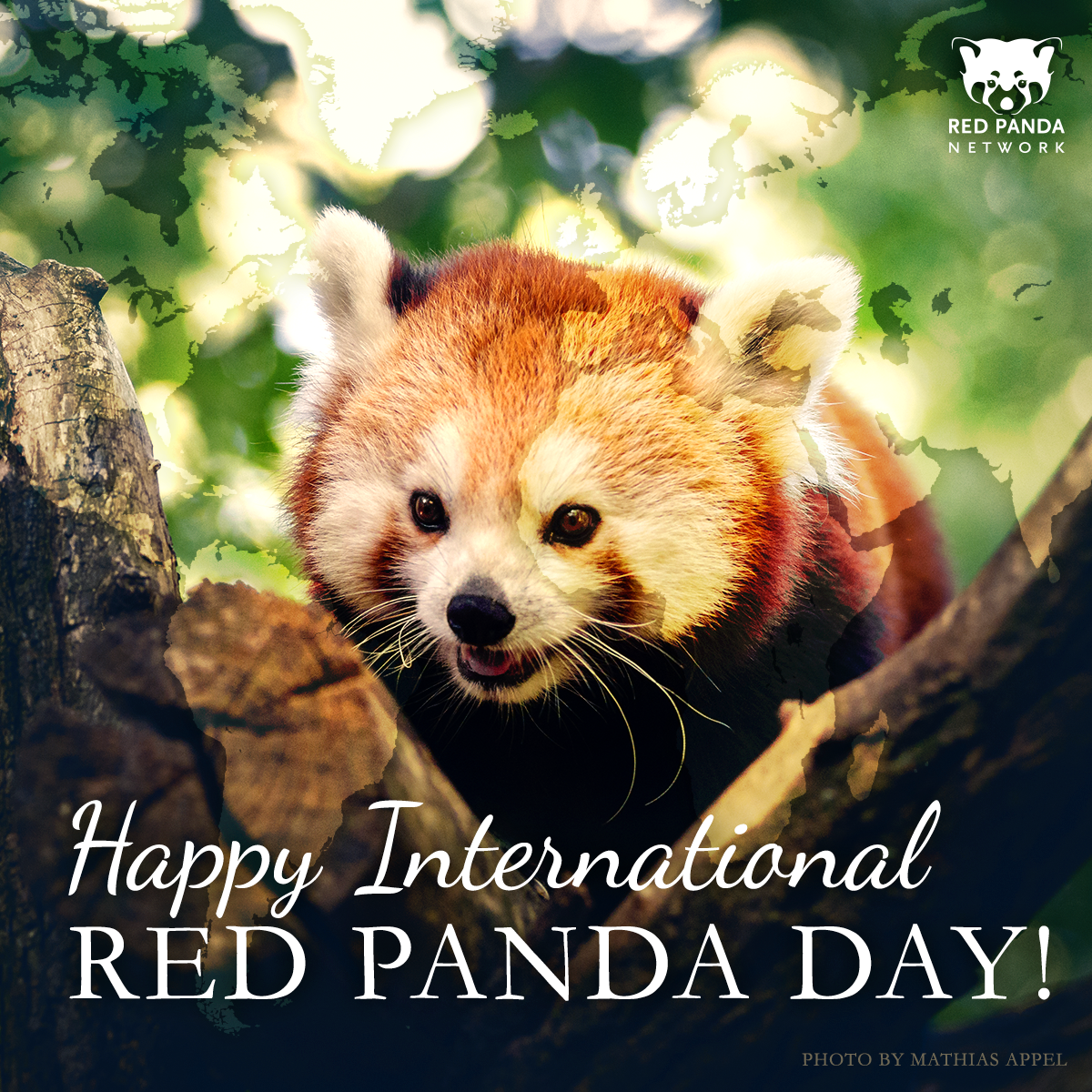 Happy International #RedPandaDay Everyone! Learn and adopt at http://t.co/Asqn5LEpZE! http://t.co/Wod8yHRZFe