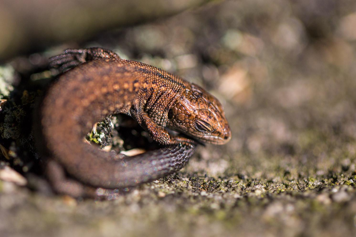 Common Lizard youngster napping in the @peakdistrict @reptiles @amphibiansorg #cute http://t.co/ldg4RuJnnm