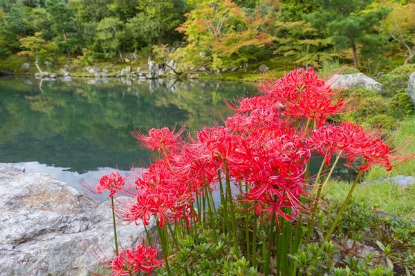 曹源池に咲く彼岸花。(2015.9.21) http://t.co/yn2j0ZUXPo