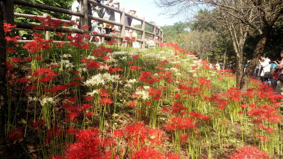 白の彼岸花も紅白に見えて綺麗だった。 http://t.co/19tTbLuCef