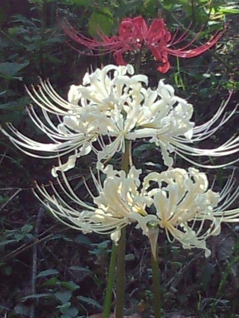 巾着田、白い曼珠沙華。透き通るような白。 http://t.co/kjne3zugXC