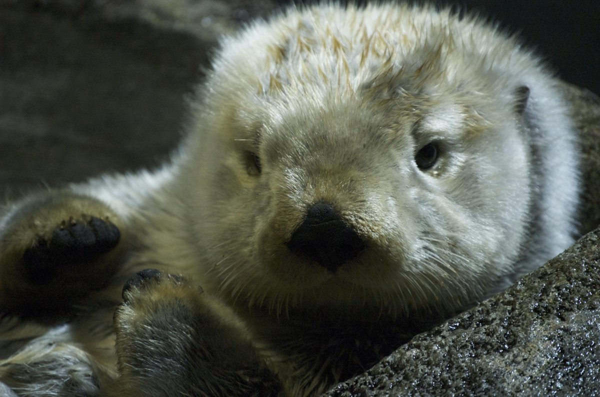 Happy Sea Otter Awareness Week from Audubon! #SOAW http://t.co/10UKIFfBbi