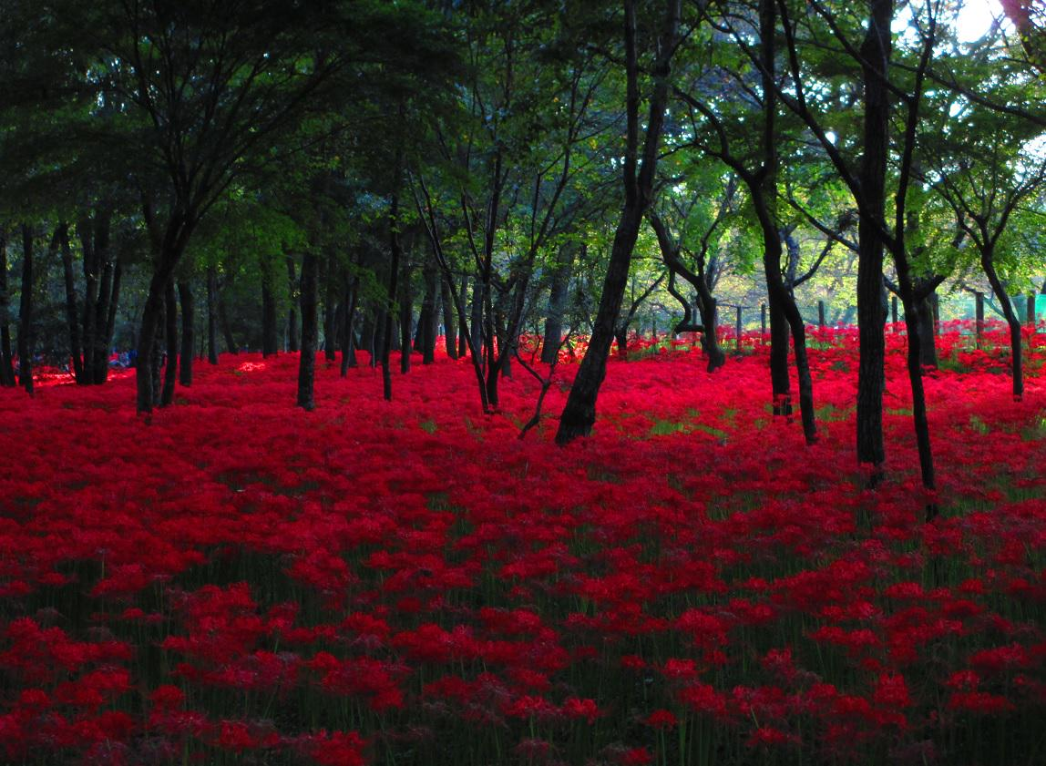 埼玉日高市の巾着田曼珠沙華公園。今日行ったらちらほら枯れ始めているのもあったので今週が一番綺麗な時期かなー。一面真っ赤で木陰は涼しいし、そこまで混雑もしておらず快適でした。 http://t.co/SBbz0QRnO1