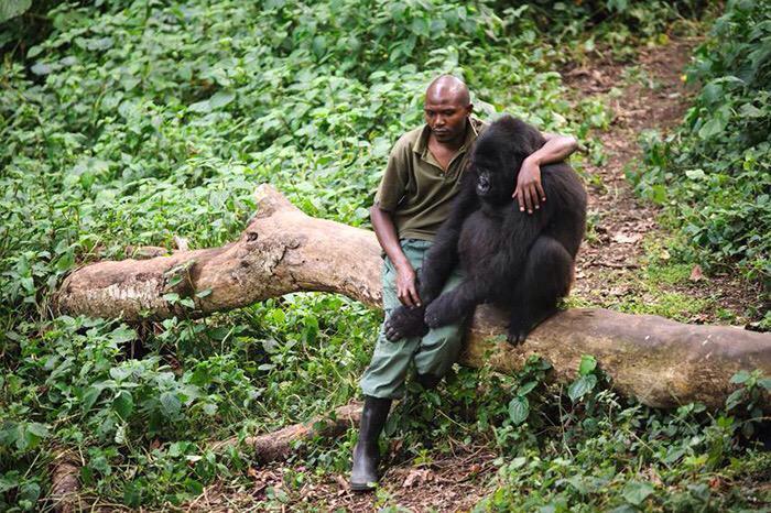 Wát een indrukwekkende foto. Een park ranger in Congo troost een gorilla die zijn moeder verloor aan stropers. http://t.co/Fc1ukgchMD