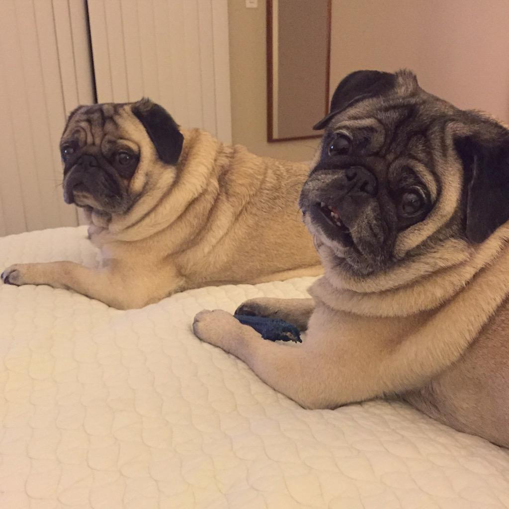 Sometimes we are under the mistaken impression that we are allowed on the bed.  #pug #wishfulthinking http://t.co/j1lOJEctjn