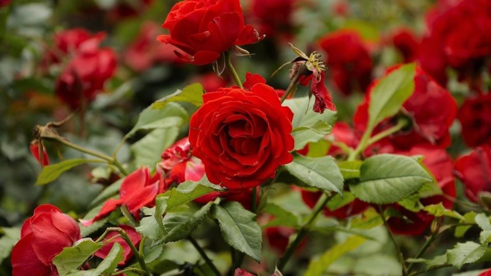 Поразила розы мучнистая роса. Лечу теперь фундазолом, который купила тут http://t.co/Pm4rWmGTA8 #АбсолютСад http://t.co/3IiuxQtp5X