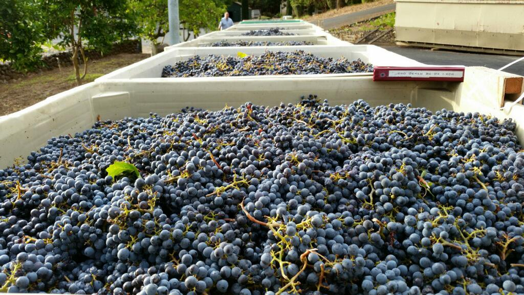 Can you guess which grapes these are coming into the winery? #wine #napavalley #napa http://t.co/hkIVoM7fGZ