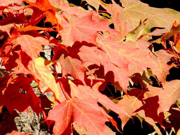 """New artwork for sale! - """"Red Leaves"""" - http://t.co/hIXrVfDRuR @fineartamerica http://t.co/bw2o67h4Sc"""